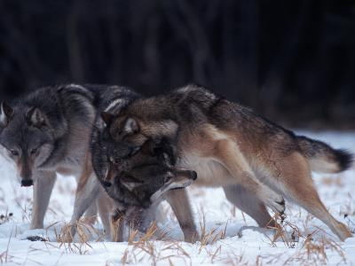 Gray Wolves in Dominance Struggle, Canis Lupus, MN-D^ Robert Franz-Photographic Print