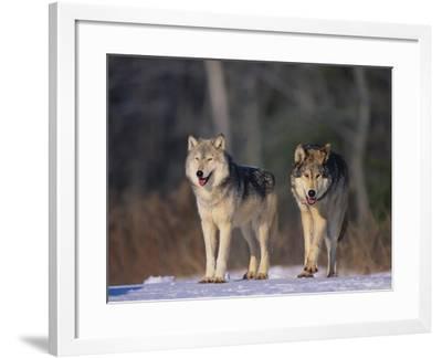 Gray Wolves in Snow-DLILLC-Framed Photographic Print