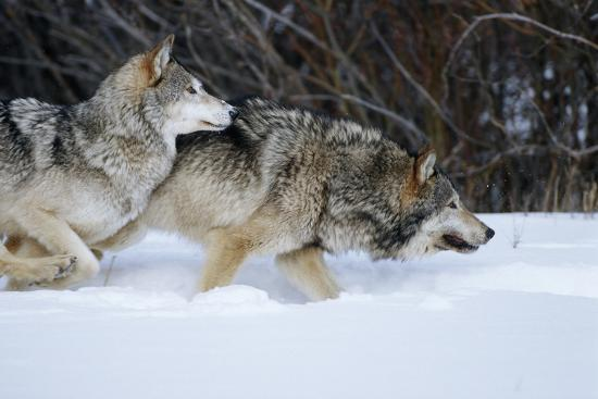 Gray Wolves Running in Snow in Winter, Montana-Richard and Susan Day-Photographic Print
