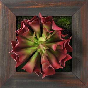Grayson Pink Aeonium Square