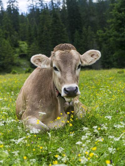 Grazing Cattle, Tyrol, Austria-Martin Zwick-Photographic Print