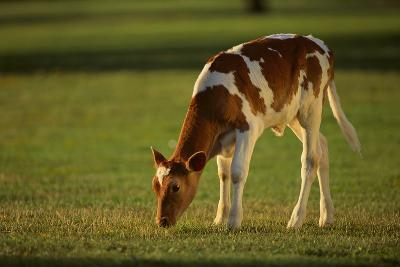 Grazing Holstein-Jersey Mix Calf-DLILLC-Photographic Print