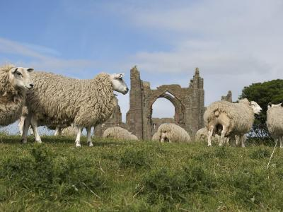 Grazing Sheep in Front of the Lindisfarne Priory-Keenpress-Photographic Print
