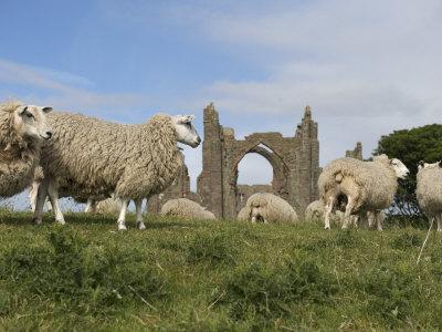 https://imgc.artprintimages.com/img/print/grazing-sheep-in-front-of-the-lindisfarne-priory_u-l-p8bmwb0.jpg?p=0