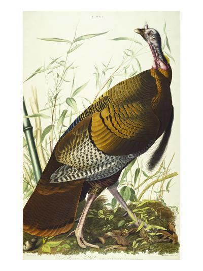 Great American Beck Male. Wild Turkey (Meleagris Gallopavo), Plate I, from 'The Birds of America'-John James Audubon-Giclee Print