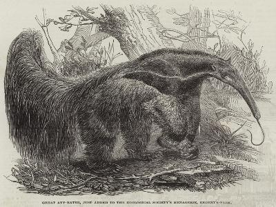 Great Ant-Eater, Just Added to the Zoological Society's Menagerie, Regent'S-Park--Giclee Print
