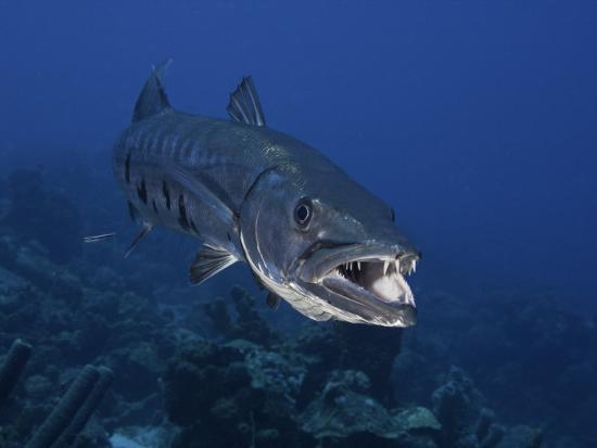 Great Barracuda (Sphyraena Barracuda) Can Reach as Much as Six Feet in Length, Caribbean-David Fleetham-Photographic Print