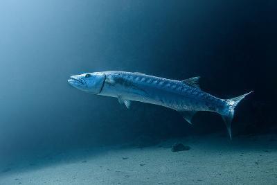 Great Barracuda-Lea Lee-Photographic Print