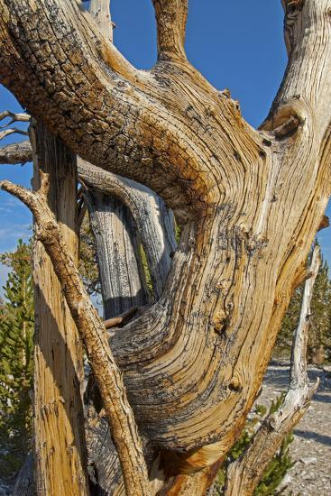 Great Basin Bristlecone Pines, Pinus Longaeva, Among World's Oldest Living Trees, Patriarch Grove-Gordon Wiltsie-Photographic Print