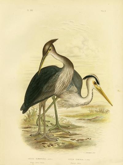 Great-Billed Heron or Dusky-Grey Heron, 1891-Gracius Broinowski-Giclee Print