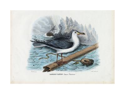 Great Black-Backed Gull, 1863-79-Raimundo Petraroja-Giclee Print