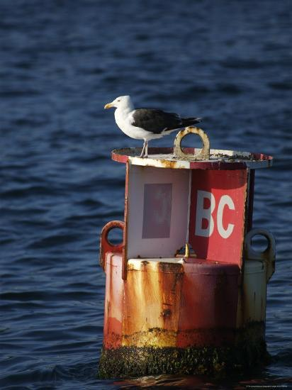 Great Black-Backed Gull on a Navigational Bouy in Gloucester Harbor-Tim Laman-Photographic Print