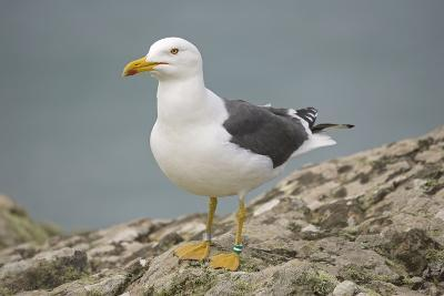Great Black-Backed Gull--Photographic Print