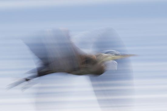 Great Blue Heron, abstract flight-Ken Archer-Premium Photographic Print