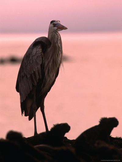 Great Blue Heron Among Gguanas, Galapagos, Ecuador-Ralph Lee Hopkins-Photographic Print