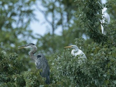 Great Blue Heron and Great White Egrets-George Grall-Photographic Print