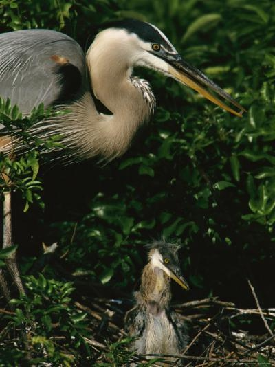 Great Blue Heron and Its Chick in Their Nest-Tim Laman-Photographic Print