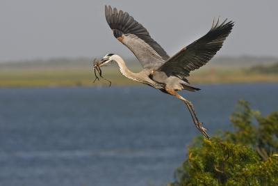 Great Blue Heron (Ardea Herodias) Bird Flying with Nest Material, Texas, USA-Larry Ditto-Photographic Print