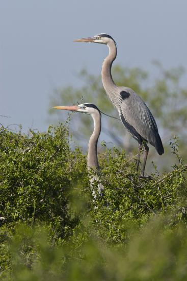 Great Blue Heron (Ardea Herodias) Bird, Pair in Habitat, Texas, USA-Larry Ditto-Photographic Print