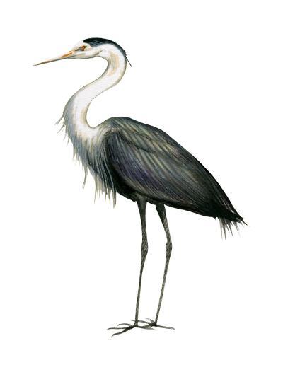 Great Blue Heron (Ardea Herodias), Birds-Encyclopaedia Britannica-Art Print