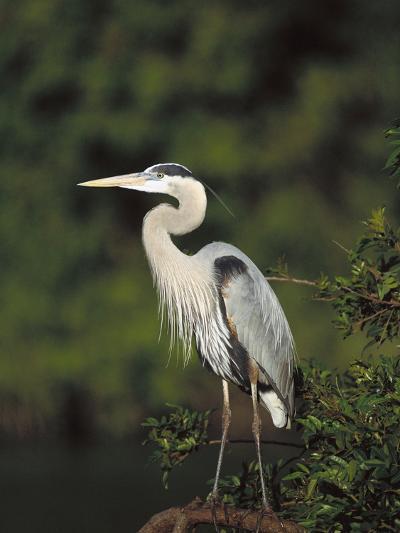 Great Blue Heron (Ardea Herodias) Perching, Florida-Tom Vezo/Minden Pictures-Photographic Print