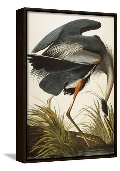 Great Blue Heron (Ardea Herodias), Plate Ccxi, from 'The Birds of America'-John James Audubon-Framed Canvas Print