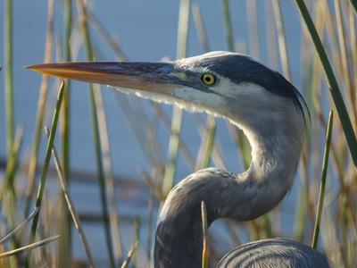 https://imgc.artprintimages.com/img/print/great-blue-heron-ardea-herodias-viera-wetlands-florida-usa_u-l-q13cjcz0.jpg?p=0
