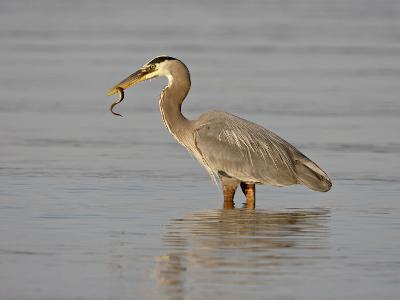 Great Blue Heron (Ardea Herodias) with a Fish, Esquimalt Lagoon, Saanich, British Columbia, Canada-James Hager-Photographic Print