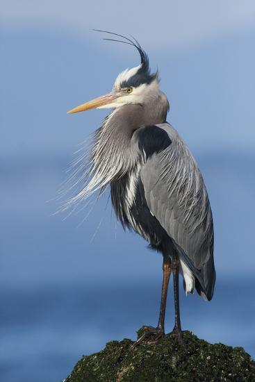 Great Blue Heron, Attempting to Preen on a Windy Day-Ken Archer-Photographic Print