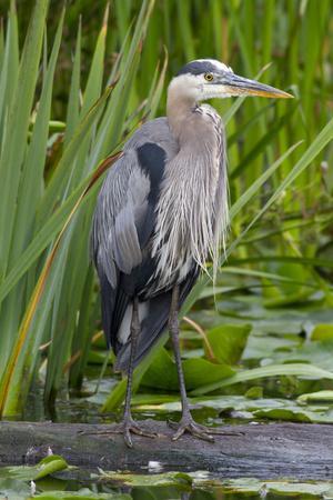 Great Blue Heron Bird, Juanita Bay Wetland, Washington, USA-Jamie & Judy Wild-Photographic Print