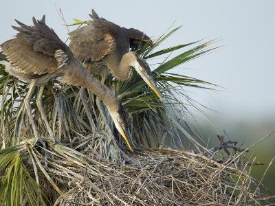 Great Blue Heron Chicks in Nest Looking for Bugs, Ardea Herodias, Viera Wetlands, Florida, USA-Maresa Pryor-Photographic Print