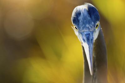 Great Blue Heron, Close Up Portrait-Ken Archer-Photographic Print