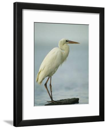 Great Blue Heron during its White Phase in the Everglades-Klaus Nigge-Framed Photographic Print