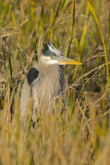 Great Blue Heron Finding Shelter, Viera Wetlands, Florida-Maresa Pryor-Photographic Print