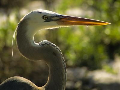 Great Blue Heron, Florida, USA-Ellen Clark-Photographic Print