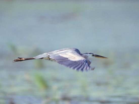 Great Blue Heron, Great Meadows Wf, MA-Harold Wilion-Photographic Print