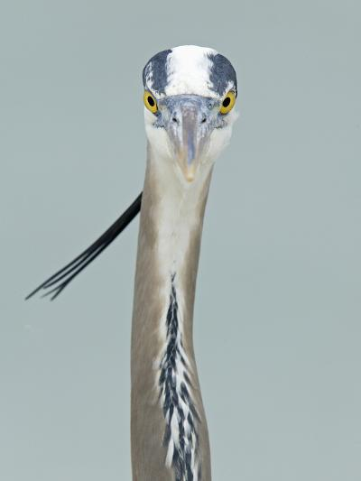 Great Blue Heron Head, Ardea Herodias, North America-Arthur Morris-Photographic Print