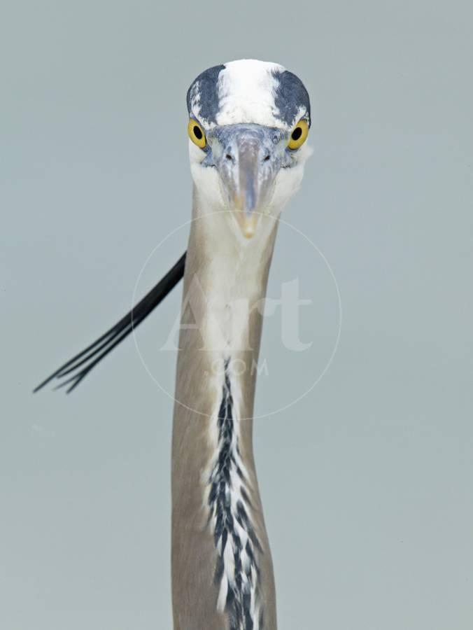 Great Blue Heron Head Ardea Herodias North America Photographic