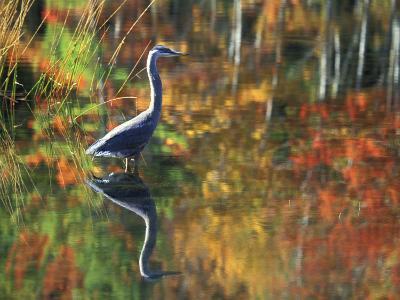 Great Blue Heron in Fall Reflection, Adirondacks, New York, USA-Nancy Rotenberg-Photographic Print