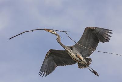 Great Blue Heron in Flight, Returning to the Nest-Michael Qualls-Photographic Print