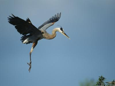 Great Blue Heron in Flight-Klaus Nigge-Photographic Print