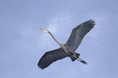 Great Blue Heron in Flight-Arthur Morris-Photographic Print