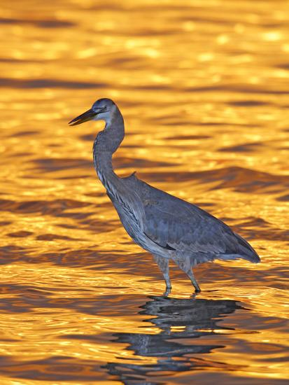 Great Blue Heron in Golden Water at Sunset, Fort De Soto Park, St. Petersburg, Florida, USA-Arthur Morris-Photographic Print