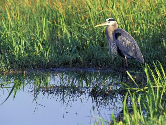 Great Blue Heron in Taylor Slough, Everglades, Florida, USA-Adam Jones-Photographic Print