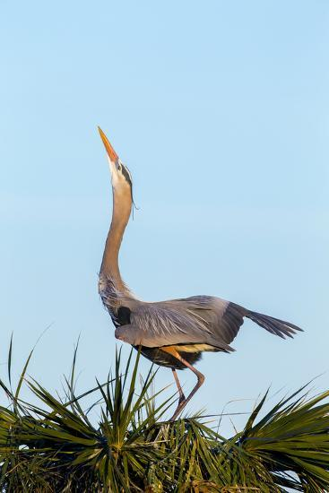 Great Blue Heron on Nest Displaying, Viera Wetlands, Florida-Maresa Pryor-Photographic Print