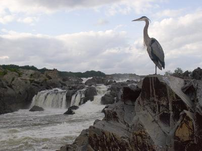 Great Blue Heron on Rock Overlooking Great Falls-Skip Brown-Photographic Print