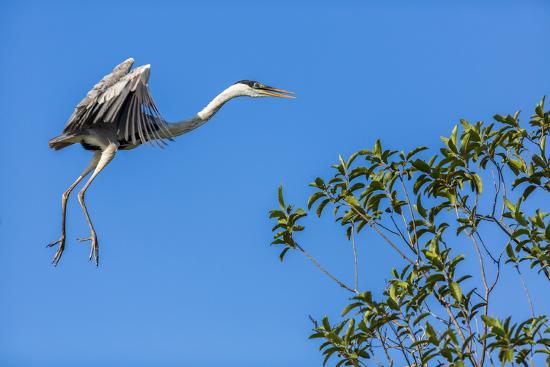 Great Blue Heron prepares to land on a tree over the Brazilian Pantanal-James White-Premium Photographic Print