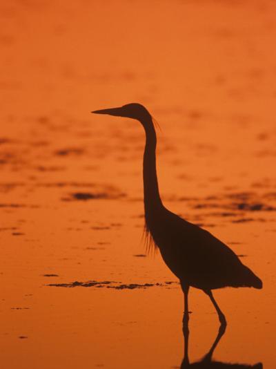 Great Blue Heron Silhouette at Twilight (Ardea Herodias), North America-John & Barbara Gerlach-Photographic Print