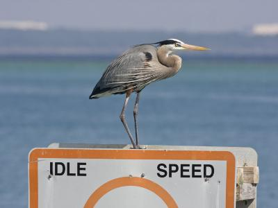 Great Blue Heron Standing on a Boating Sign-Marc Moritsch-Photographic Print