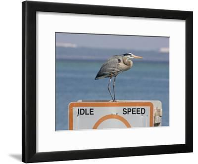 Great Blue Heron Standing on a Boating Sign-Marc Moritsch-Framed Photographic Print